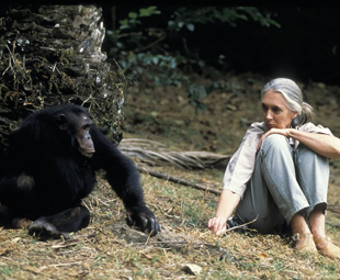 Jane Goodall is the primatologist and conservationist who became world famous for her pioneering work with chimpanzees at the Gombe Stream National Park in Tanzania.