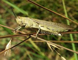 Locusts news